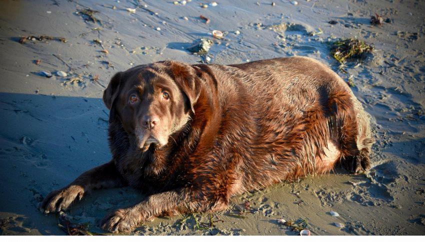 Adottano un cane obeso e lo aiutano a dimagrire 30 kg