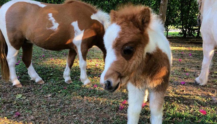 I cavalli in miniatura che hanno conquistato grandi e piccini