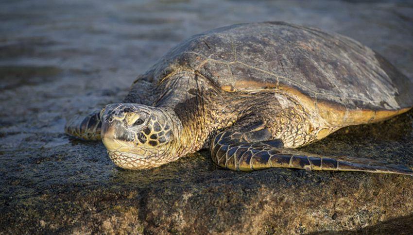 Spagna, trovata una tartaruga da 700 kg