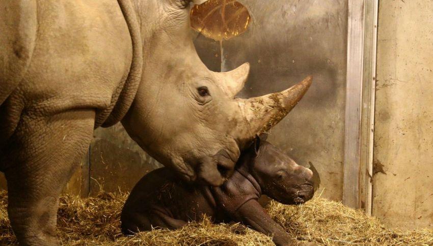 Zoo di Copenaghen: nato un rarissimo rinoceronte bianco