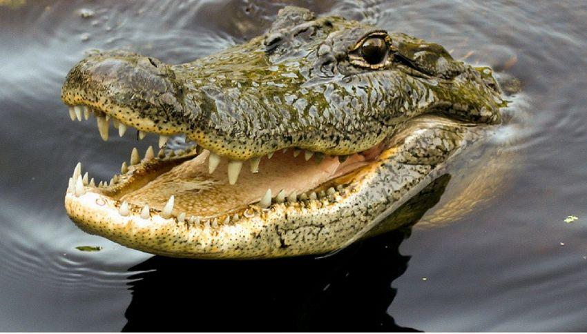 Londra, c'è un coccodrillo nel Tamigi