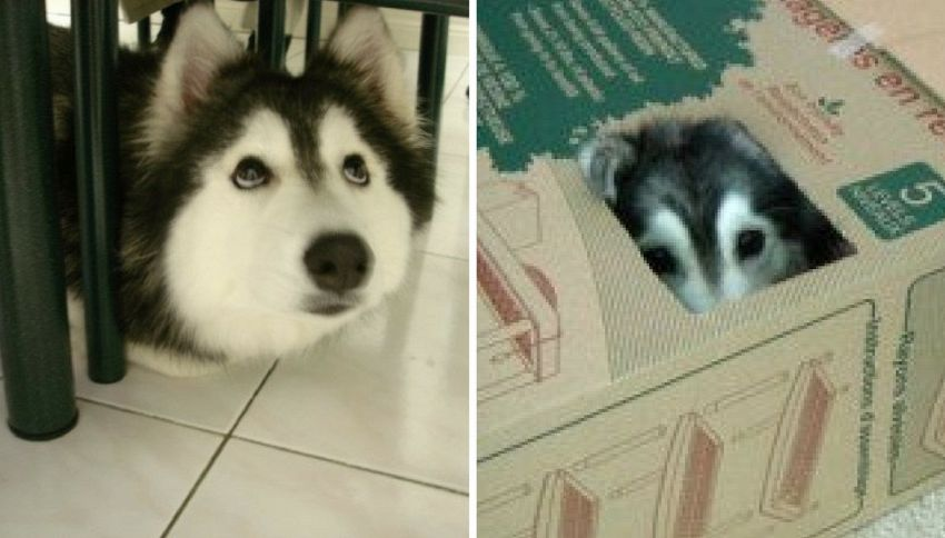 Tally, l'husky che crede di essere un gatto