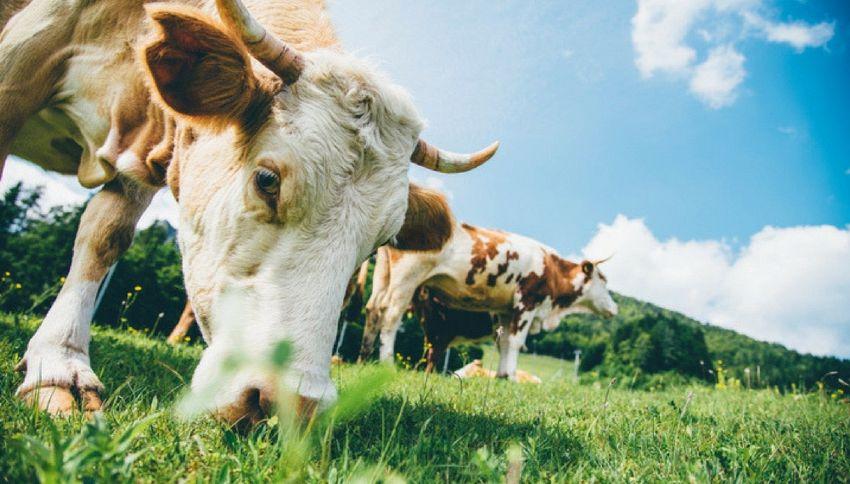 Il latte delle mucche del Papa usato per verniciare i muri