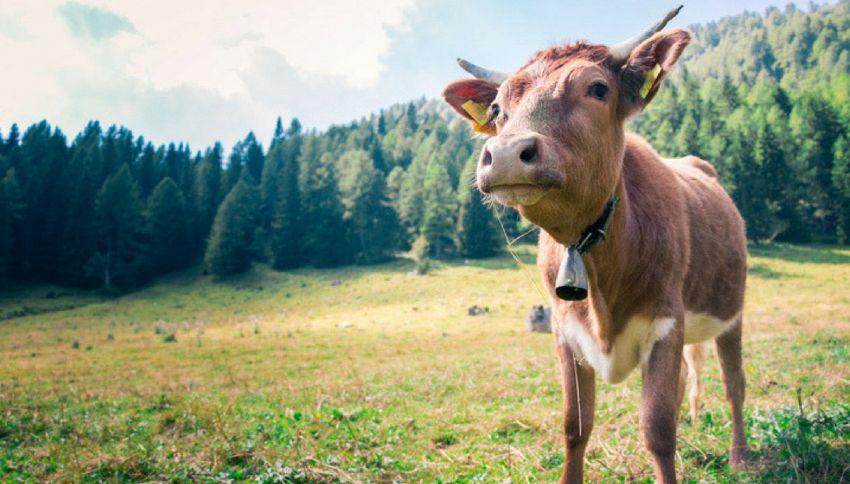Latte al cioccolato? Per gli americani viene da mucche marroni