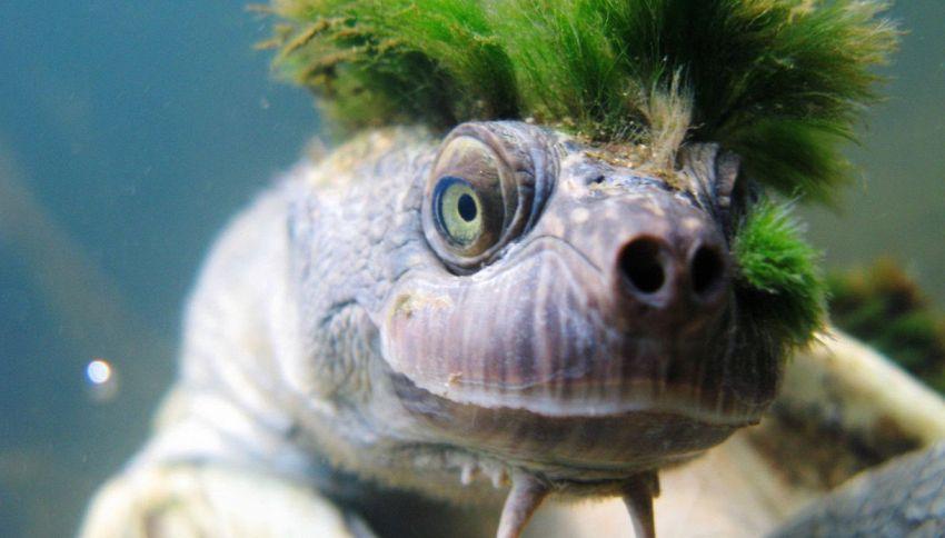 La tartaruga punk con la cresta verde è a rischio estinzione