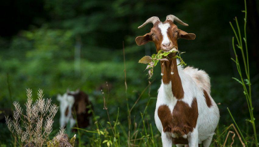 In Irlanda le capre stanno formando delle gang e sono pericolose