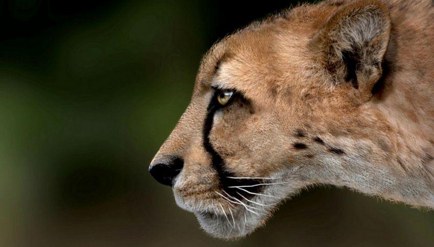 Svelato il mistero del ghepardo gigante dell'Argentario