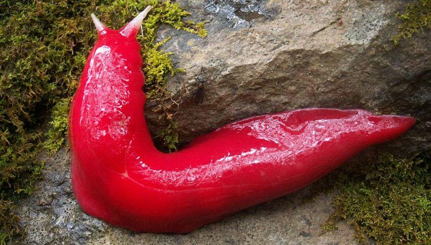 In Australia, le lumache sono alla moda: rosa fluo