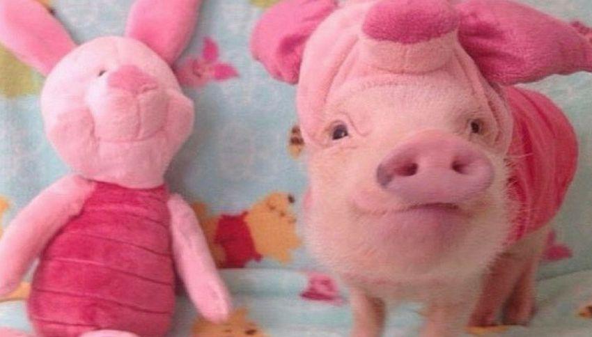 Vi presentiamo Prissy Pig, la maialina star di Instagram