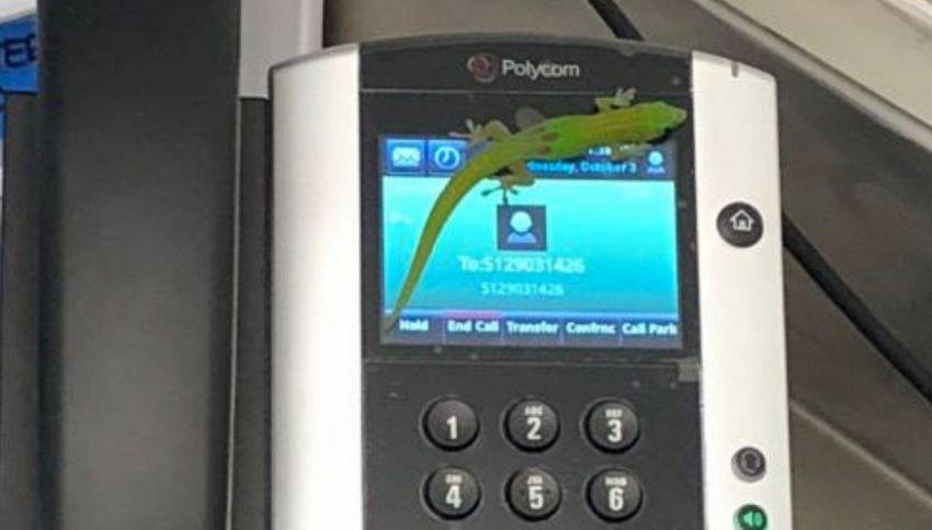 La storia del geco che ha telefonato a tutte le Hawaii
