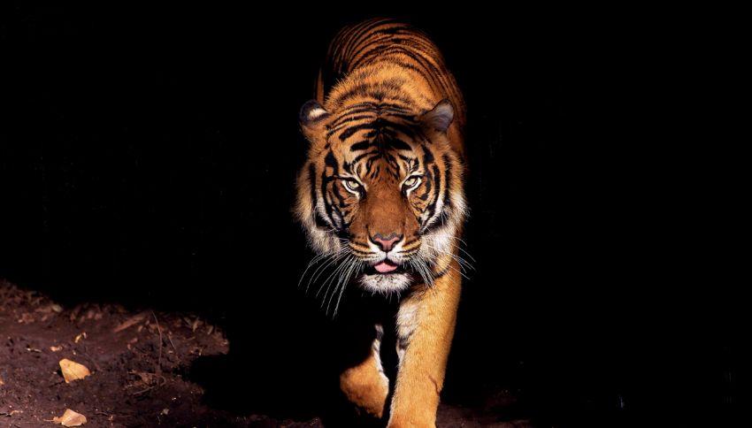 Profumo Calvin Klein, perché le tigri ne vanno matte?