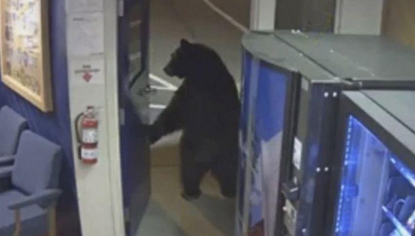Un orso è entrato a comprare le merendine al commissariato