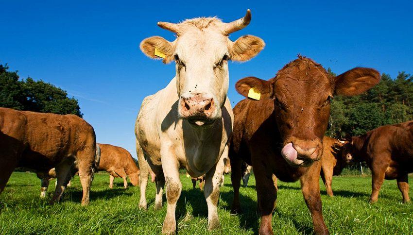 Per San Valentino arriva il Tinder delle mucche