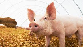 Il maiale salvato dal macello diventa pittore di fama mondiale
