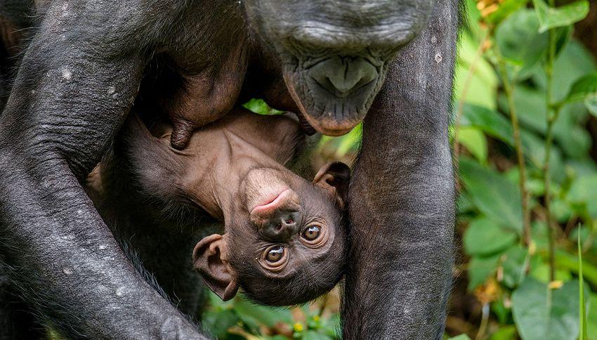La mamma gorilla continua a stupire: emozionanti foto col piccolo