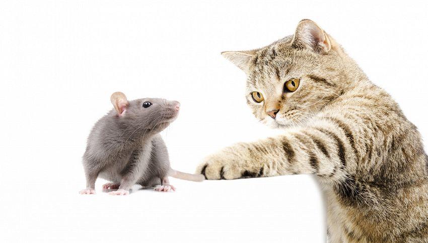 Il gatto ti porta un topo morto a casa? Crede che tu sia incapace