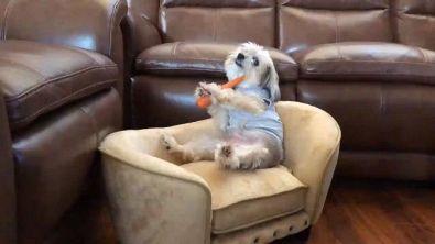 Il cane pigrone che sta seduto sul divano a mangiare carote