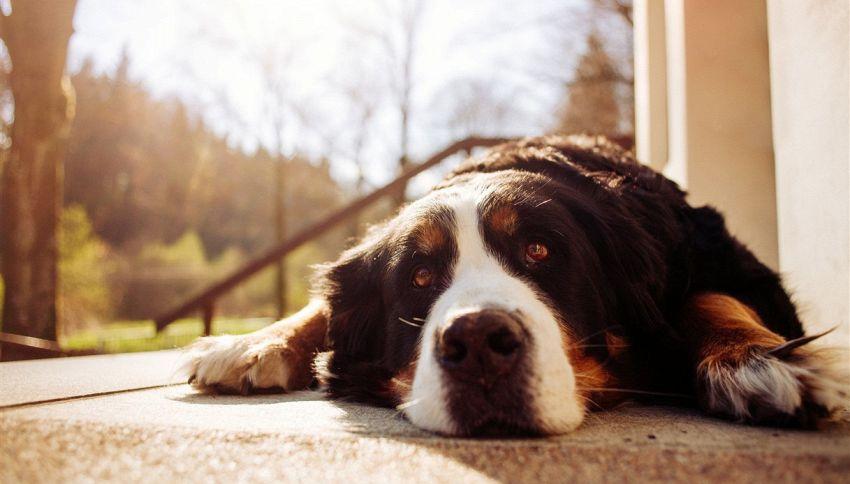 """""""Maggiordomo di pelliccia"""": il tuo capo potrebbe essere un cane"""