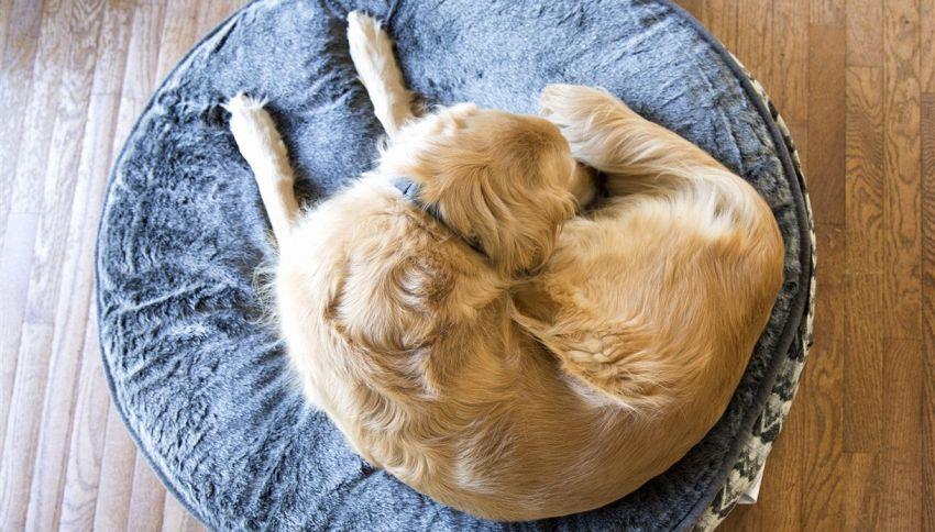 Il tuo cane fa dei cerchi prima di dormire? Cosa significa