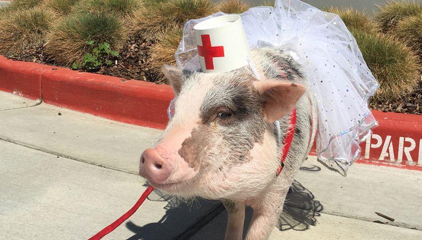 """Sei stressato? Il maialino """"infermiere"""" può aiutarti"""