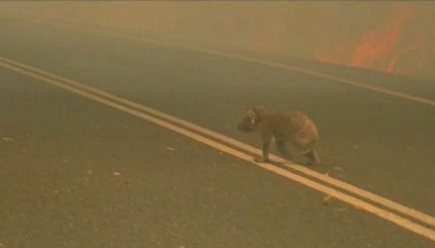 Koala ustionato: la storia commovente del suo salvataggio
