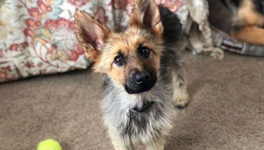 La storia di Ranger, il cane eternamente cucciolo