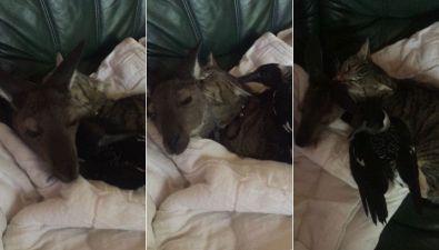 Il gattino fa le coccole al cucciolo di canguro, ma il corvo è geloso e cerca attenzioni