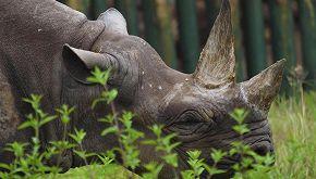 Addio a Fausta, il rinoceronte nero più vecchio del mondo