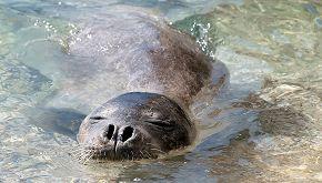 Dopo 36 anni, in Italia è stato visto un cucciolo di foca monaca