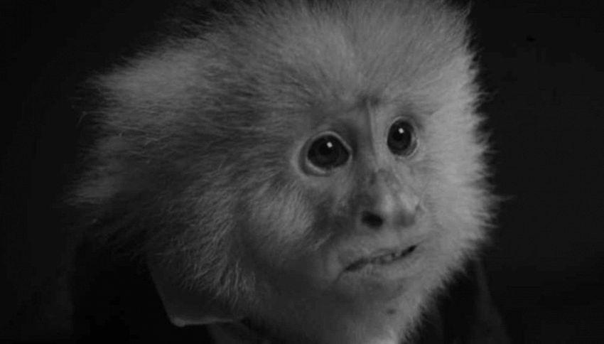 Ricordate la scimmietta di 'Friends'? Ecco cosa fa ora