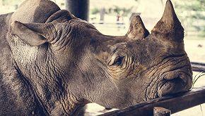 Morto di fame allo zoo: il rinoceronte commuove il web