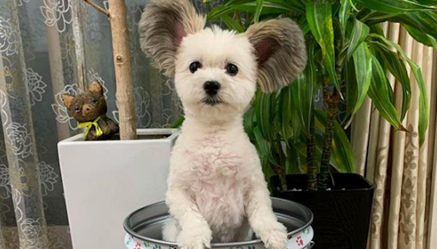 Goma, il 'cane Topolino' star di Instagram