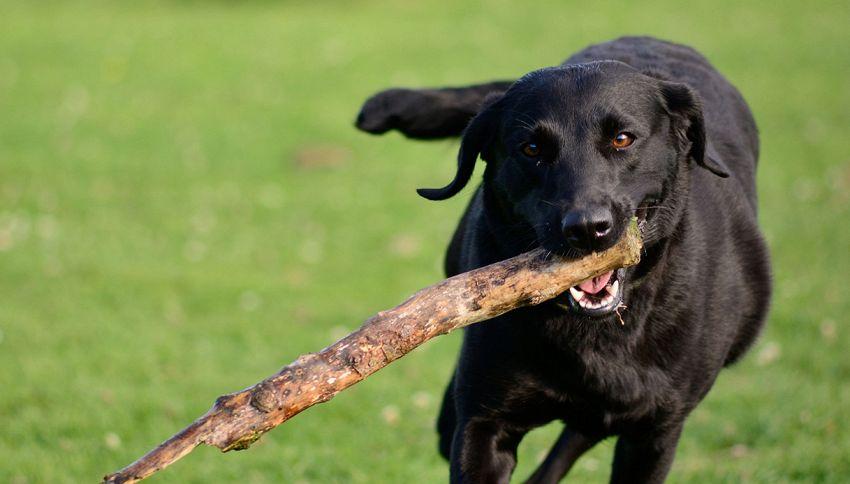 Fai giocare il tuo cane col bastone? Ecco il pericolo