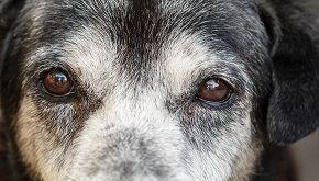 A 24 anni è il cane più 'anziano' del mondo: la storia di Maximus