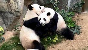 Nel silenzio dello zoo chiuso, nasce l'amore tra due panda