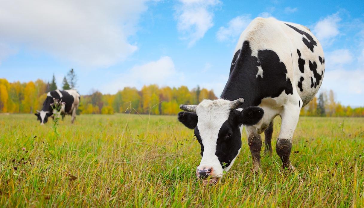 Si può adottare una mucca a distanza per aiutare gli allevatori