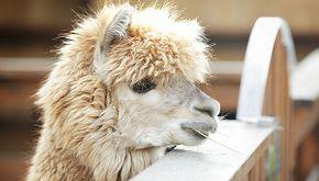 Una fattoria offre videochiamate con gli alpaca