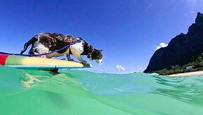 Hokule, la storia del gatto che fa surf