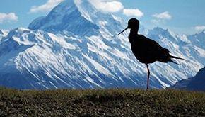 L'uomo sta salvando l'uccello più raro del mondo dall'estinzione