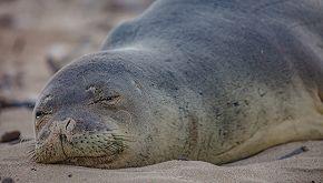 L'isola di Capraia limita gli accessi a difesa della foca monaca