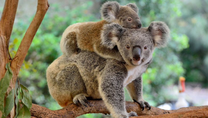 A Kangaroo Island la natura torna a vivere dopo gli incendi