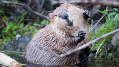 Perché i castori costruiscono le dighe?