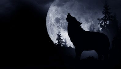 Perché i lupi e cani ululano alla luna?