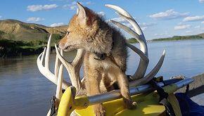 Salva un cucciolo di coyote e lo tiene con sé per dieci giorni