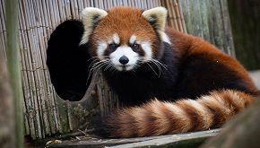 Kora, la storia del panda rosso scappato dallo zoo