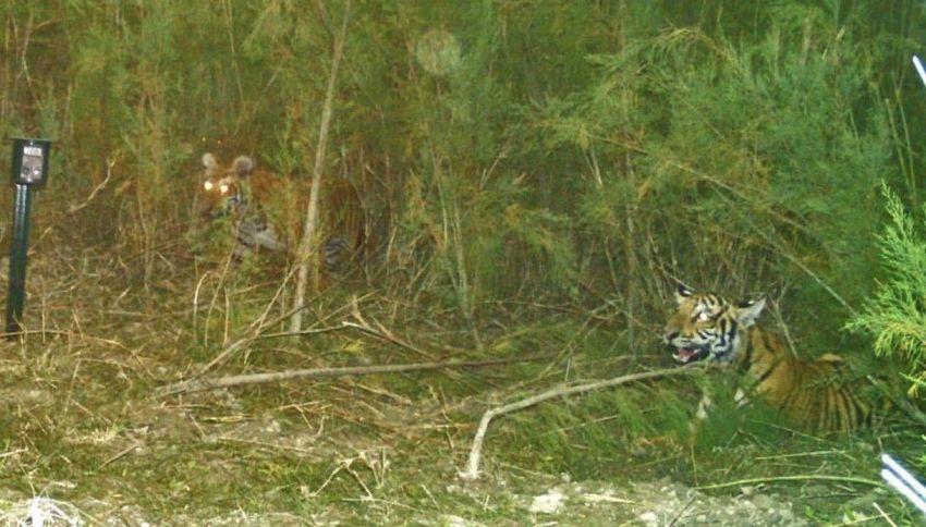La foto di due tigri del Bengala diventa virale su Twitter