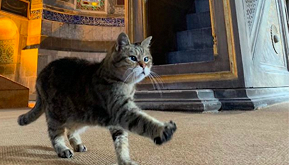 Il gatto che vive ad Hagia Sofia è una star del web
