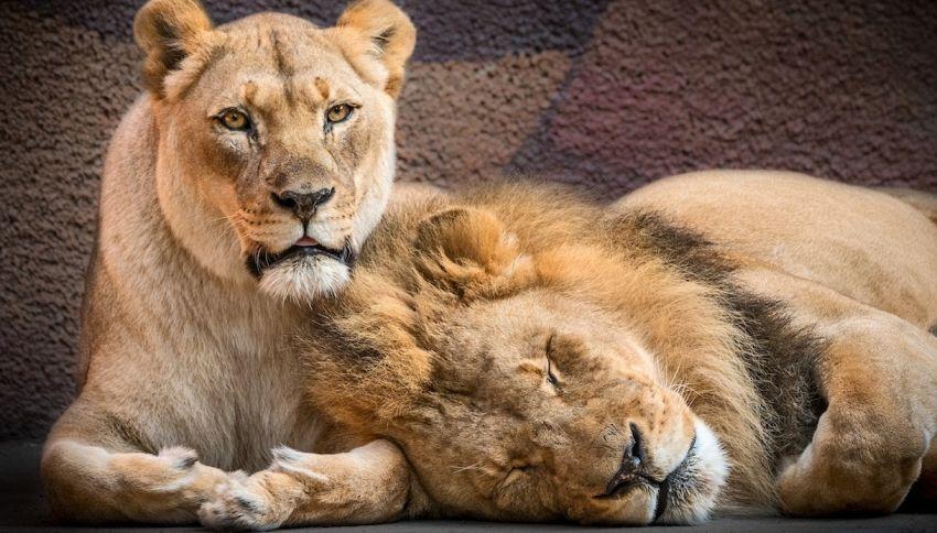 Hubert e Kalisa, i due leoni inseparabili sono morti insieme