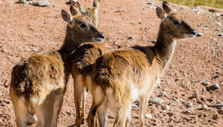 Al Parco Le Cornelle nati due cuccioli di antilope