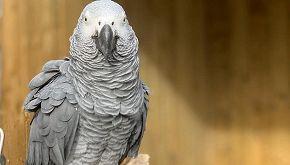 Cinque pappagalli hanno imparato a dire parolacce in quarantena